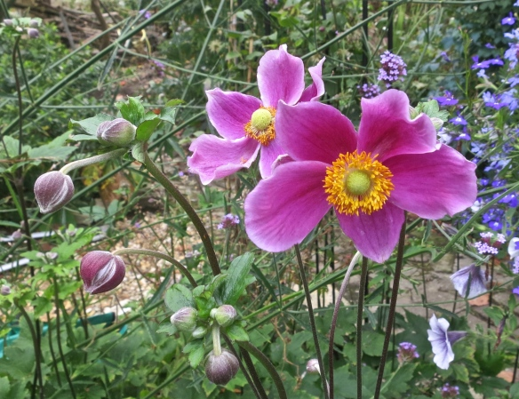 Japanese anemone