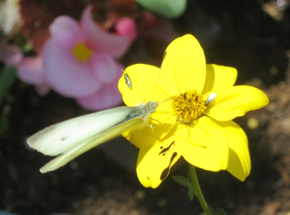 Small white butterfly on bidens