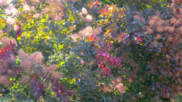Smokebush tree