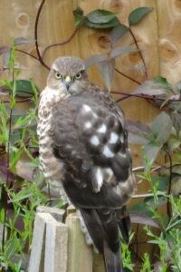 Sparrow Hawk - Female 2