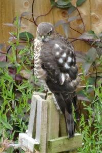 Sparrow Hawk - Female