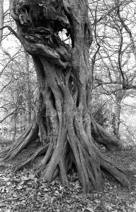 Tree 1982