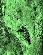 Tree roots 1982 - Version 2
