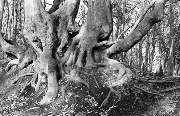 Tree roots 1982