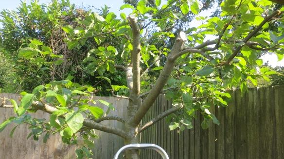 Apple tree pruned