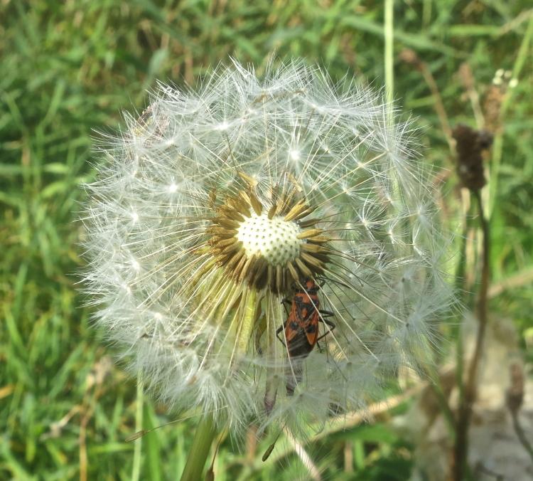 Beetles in dandelion clock