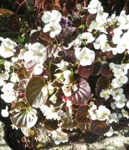 Begonia small