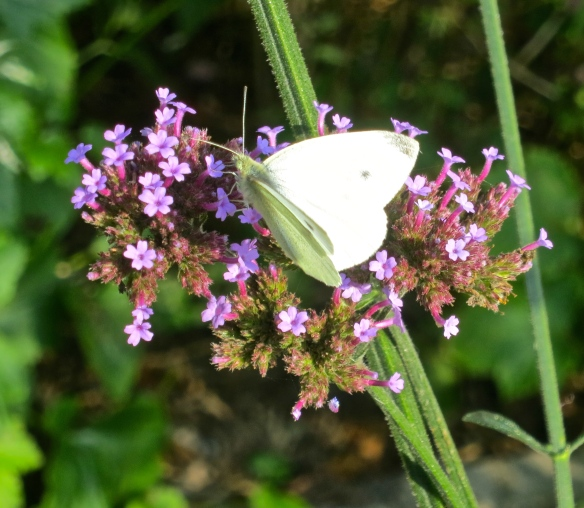 Cabbage white on verbena bonarensis