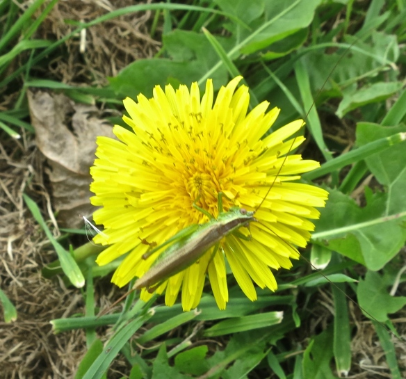 Cricket on dandelion