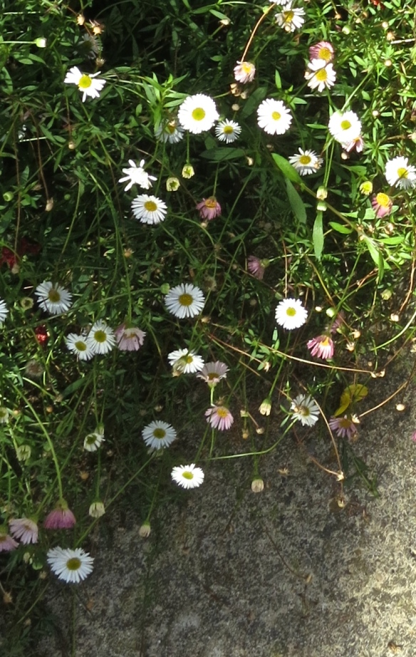 Erigeron - Version 2