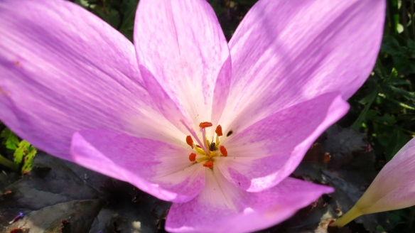 Fly in colchicum