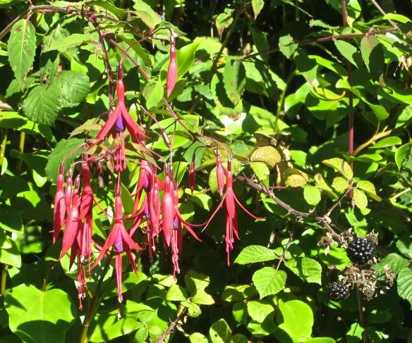 Fuchsia and blackberries