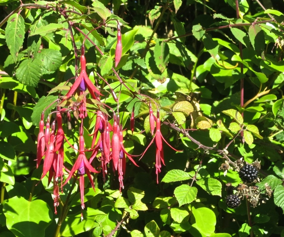 Fuchsia and blackberries