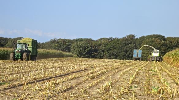 Harvesting maize 1
