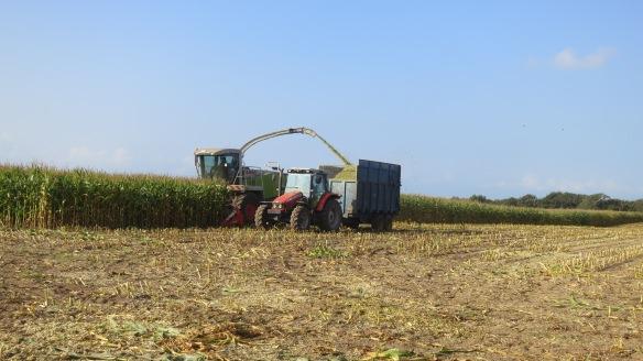 Harvesting maize 2