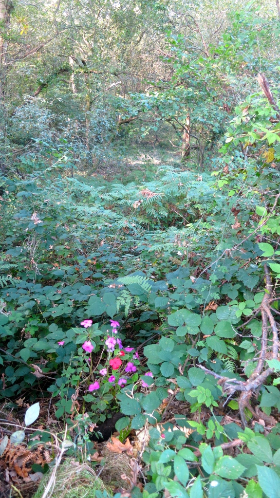 Impatiens in forest