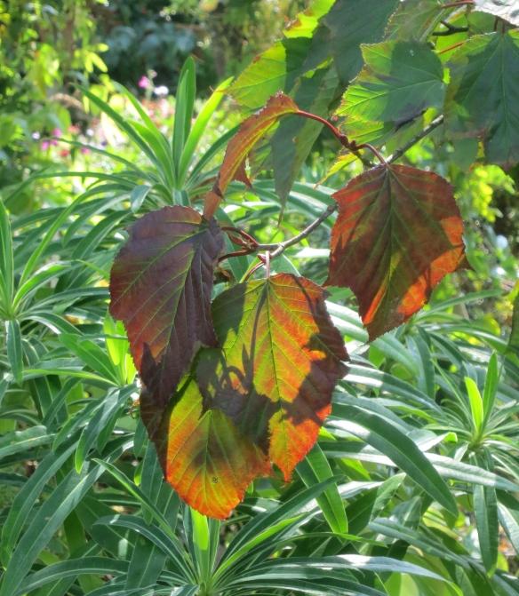 Leaves of snake bark maple