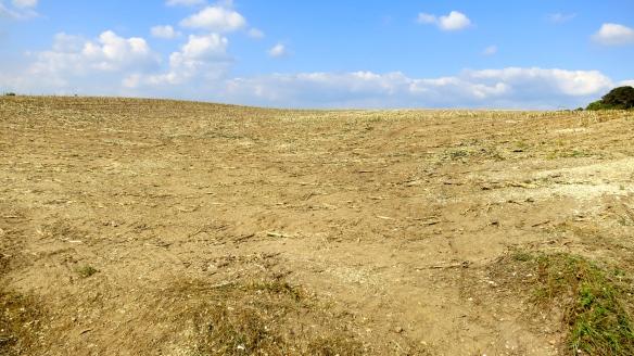 Maize field cleared