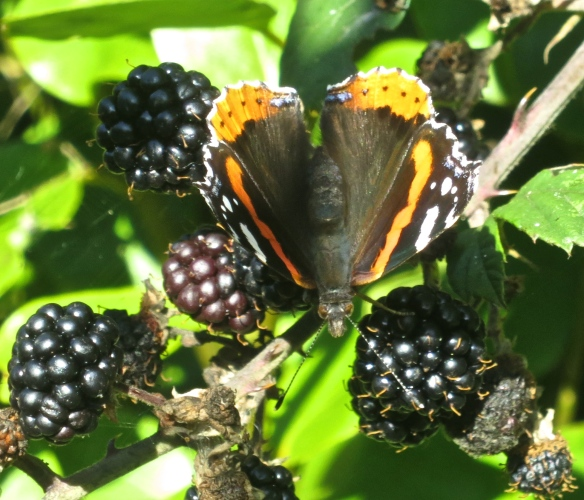 Red Admiral and blackberries
