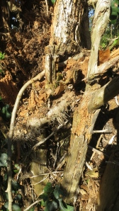Stump and ivy stems
