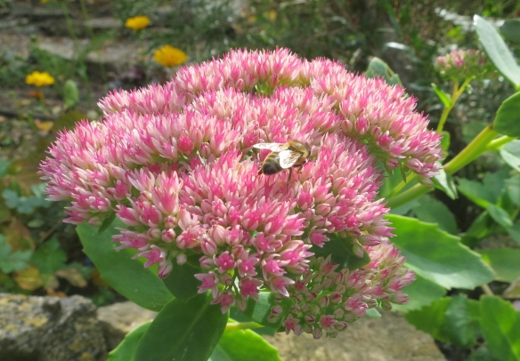 Wasp on ice plant