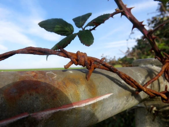 Barbed wire and bramble