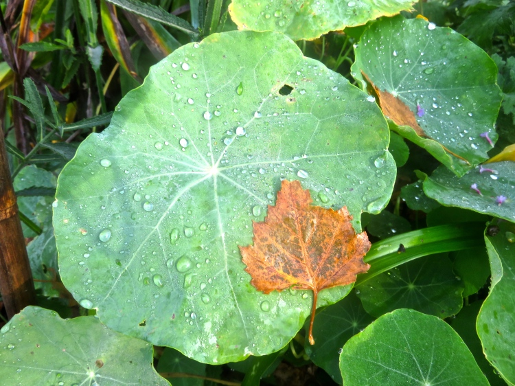 Birch leaves, verbena petals, nasturtium leaves