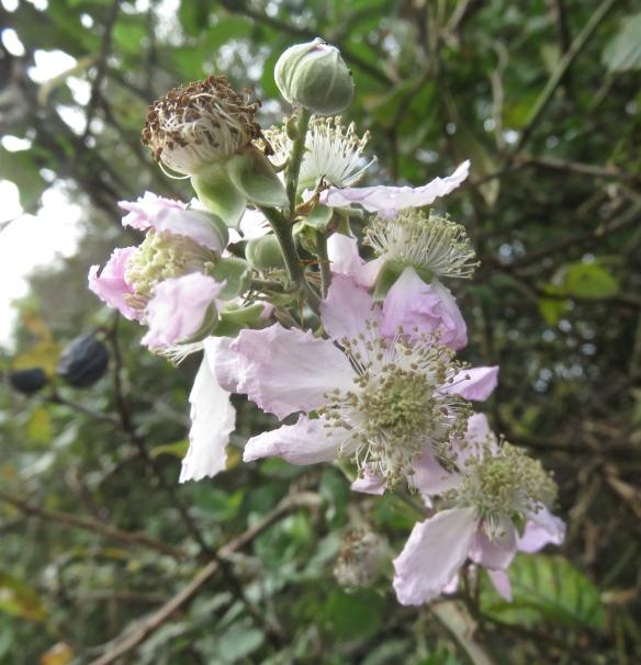 Blackberry blossom