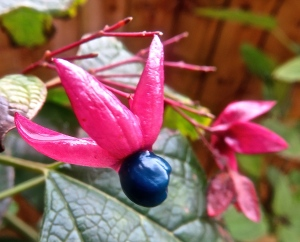 Clerodendrum trichotomum 2