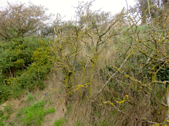 Lichen and gorse
