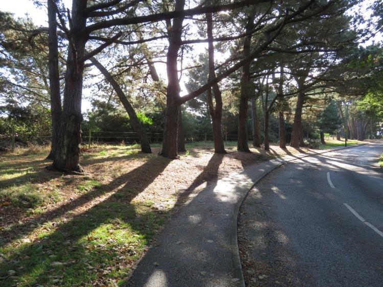 Pine shadows