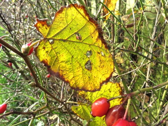 Autumn leaves and rose hips