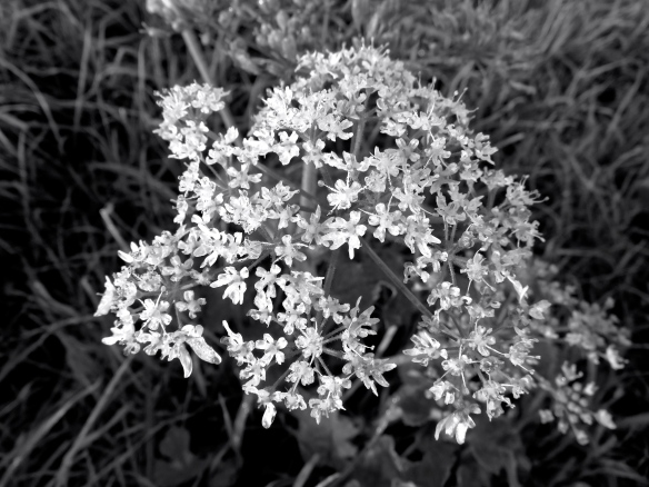 Cow parsley 3