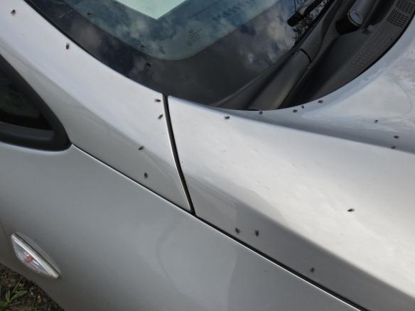 Flies on car