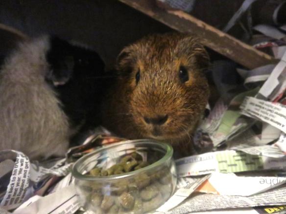 Guinea pig Louis