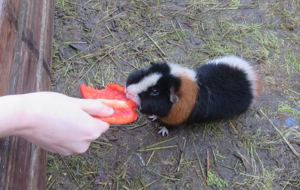 Guinea pig Monty 1