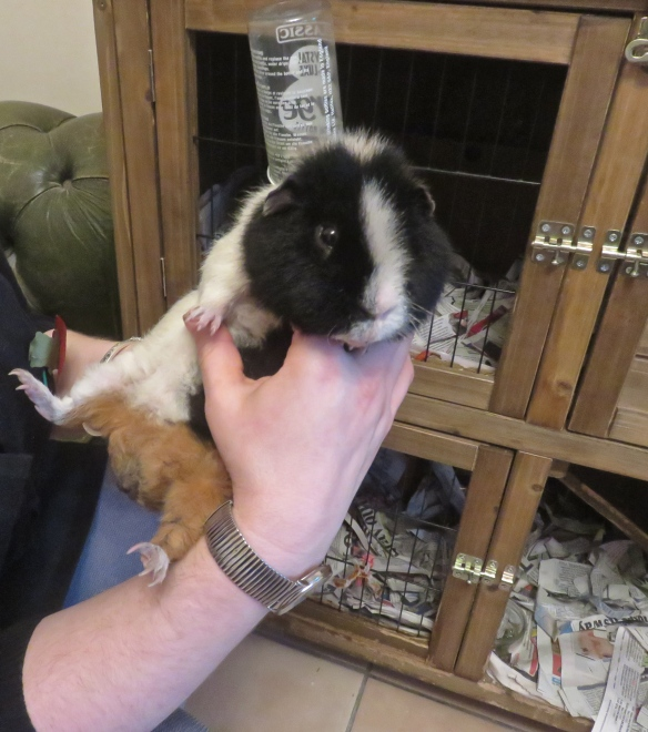 Guinea pig Monty 2