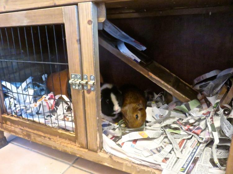 Guinea pigs inside