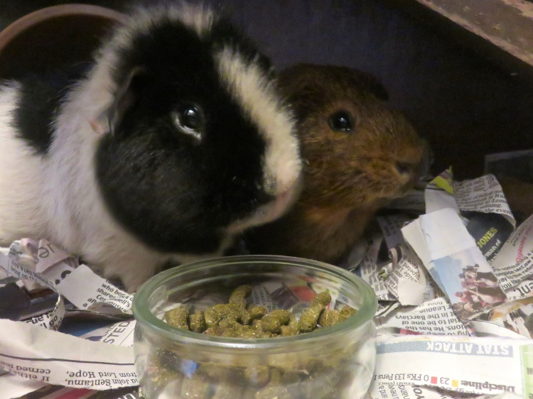 Guinea pigs Monty & Louis