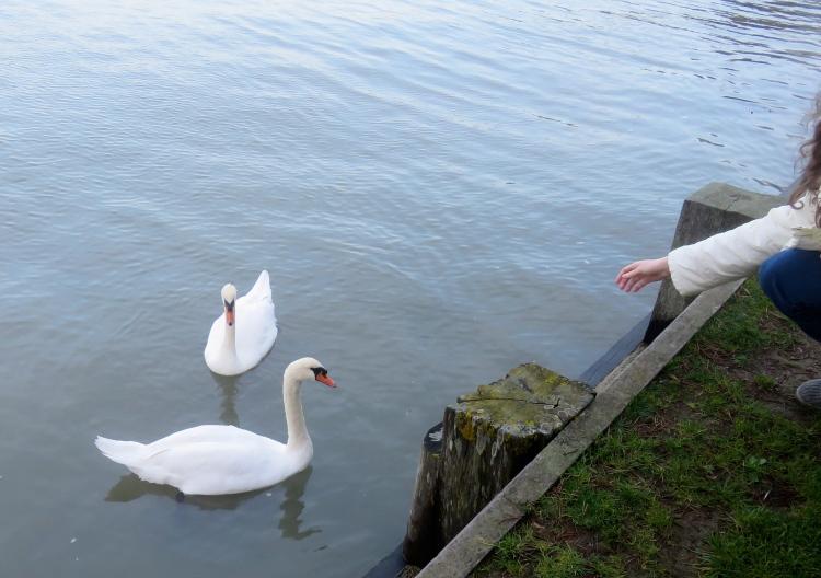 Swans (Flo's hand)