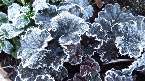 Frost on heucheras