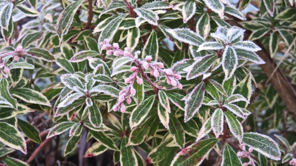 Frost on pieris