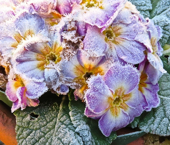Frost on primulas