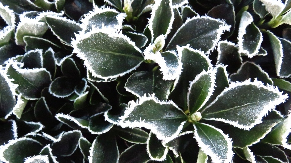 Frost on shrub