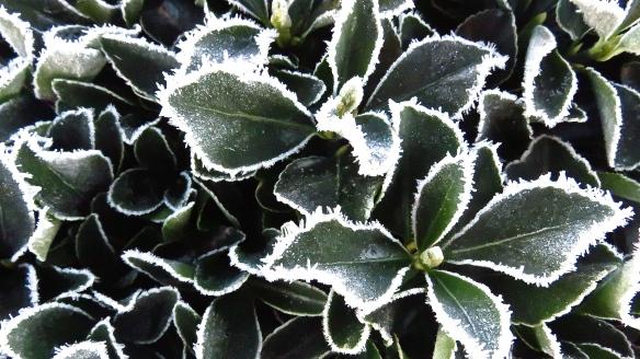 Frost on shrub