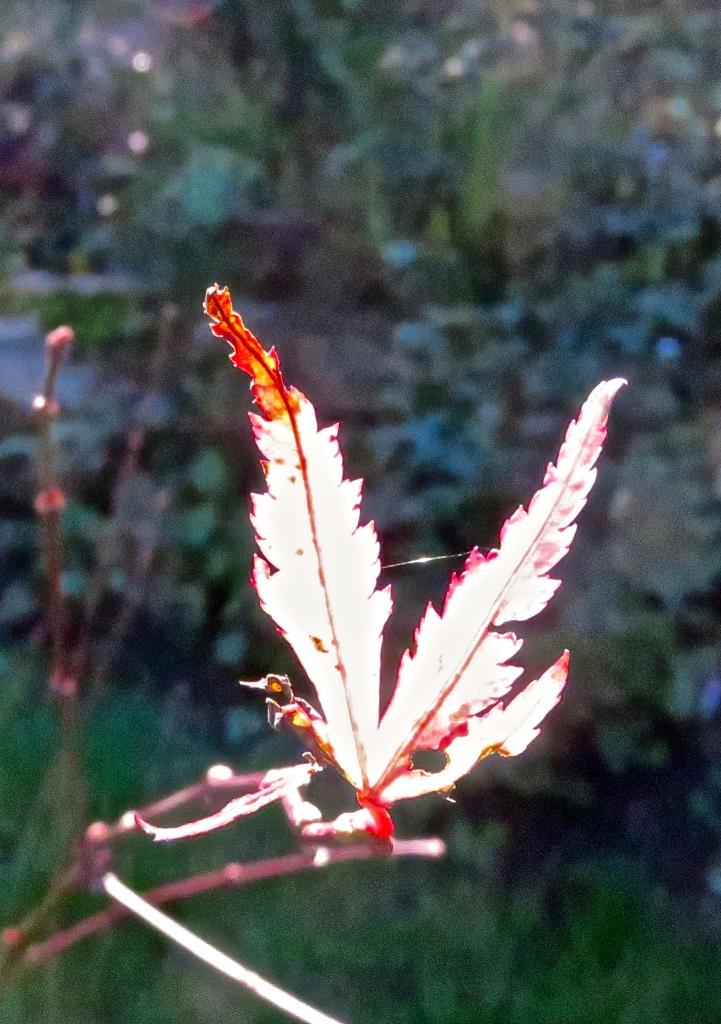 Maple leaf duckling