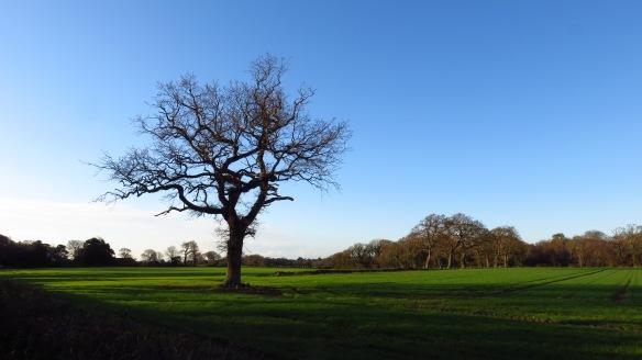 Oak tree landscape