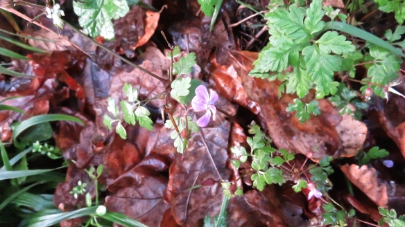 Ragged robin and autumn leaves