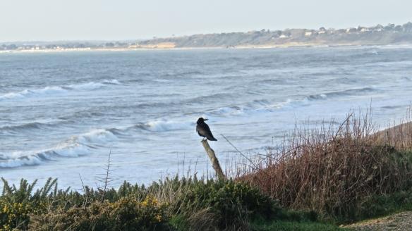 Crow on stump