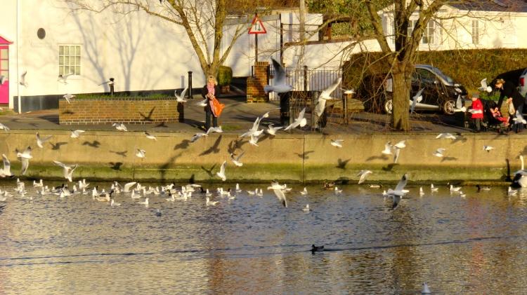 Gulls being fed